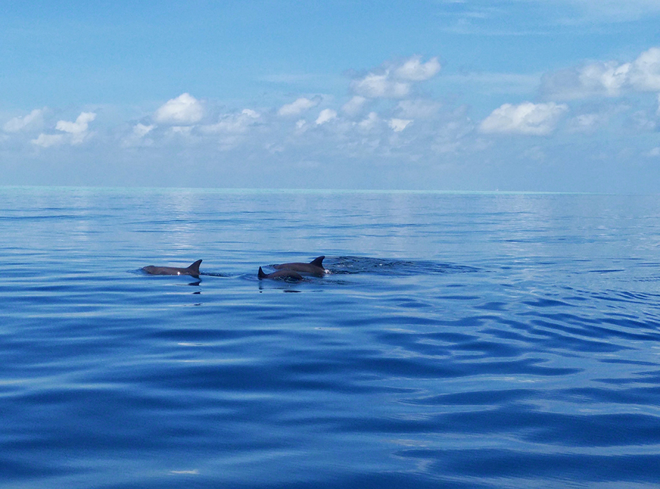 maldives-dolphins